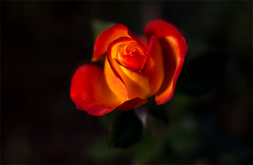 beautiful red rose picture