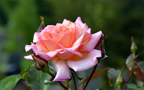 lovely pink rose picture