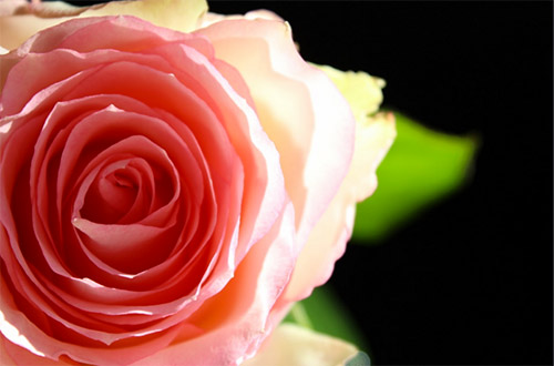 macro rose photography