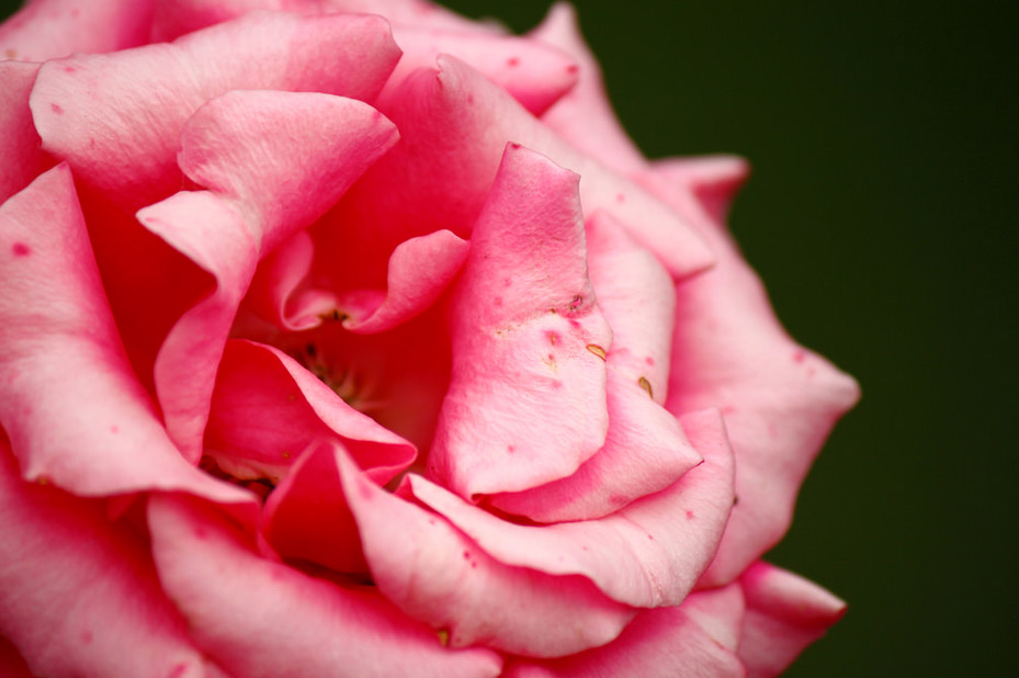 macro rose photography pink
