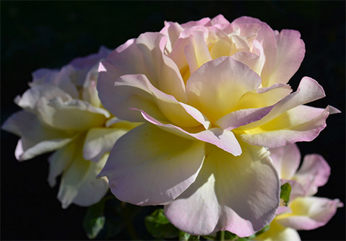 white yellow purple rose picture